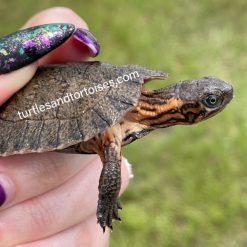 Asian Leaf Turtles (Cyclemys dentata)