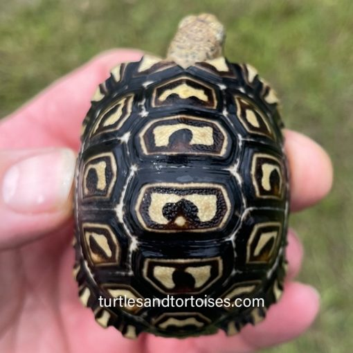 East African Leopard Tortoises (Stigmochelys pardalis babcocki)