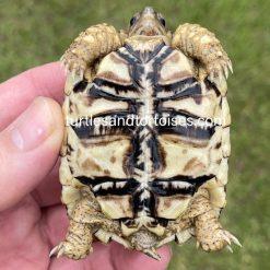 Super High White East African Leopard Tortoise (Stigmochelys pardalis babcocki)