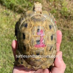 Syrian Golden Greek Tortoises (Testudo graeca terrestris)