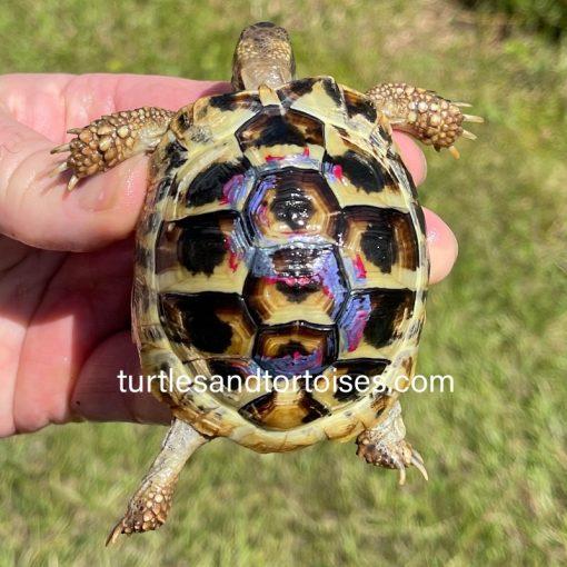 Dalmatian Hermann's Tortoises (Testudo hermanni hercegovinensis)
