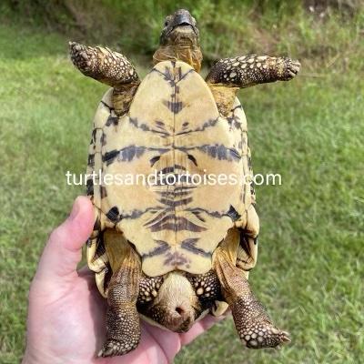 Sri Lankan Star Tortoise (Geochelone elegans)